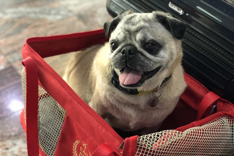 Viajando de avião com Pets