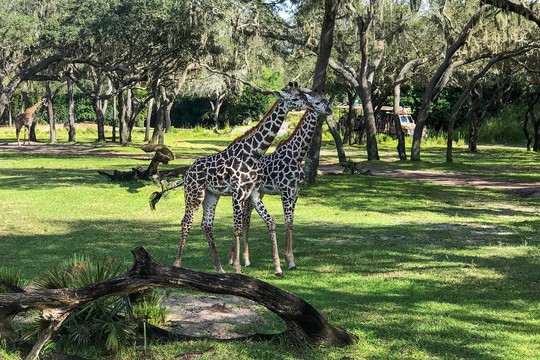 Animal Kingdom: Kilimanjaro Safari